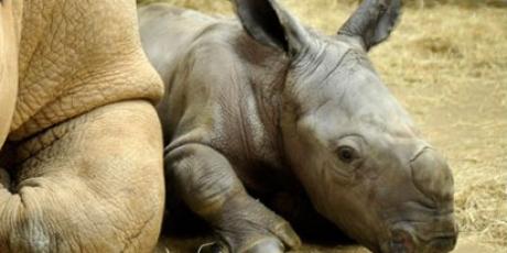 Salvem os rinocerontes!