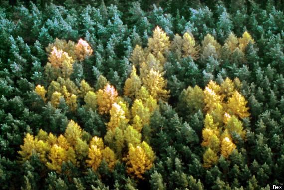 O mistério das árvores que formam símbolos da Suástica