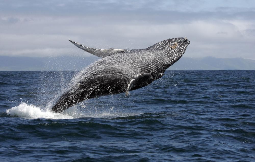 Baleia Jubarte saltando no mar