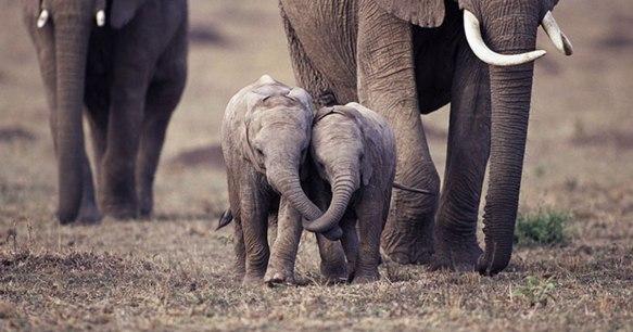 O sanguinário comércio de marfim