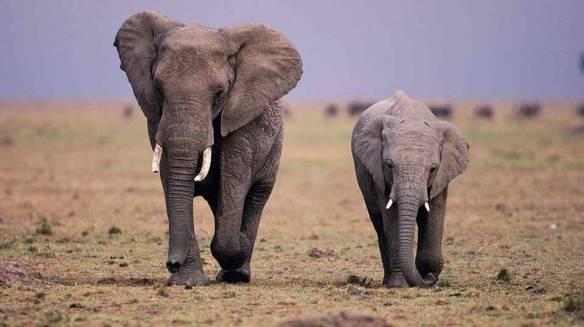 Elefantes livres