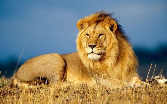 O Rei da Savana precisa de nossa ajuda