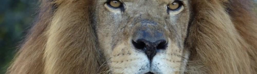 Os leões precisam de nossa ajuda